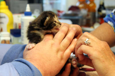 Amore kitten being held, meowing