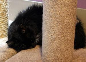 Chloe sleeping on a cat tower
