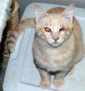 Ginger kitten Bandit missing an eye