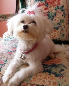 Cute white dog Mini