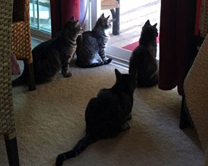 Four cats all gazing out the back patio slider door together