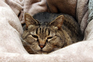 Happy Cat laying in a soft blanket
