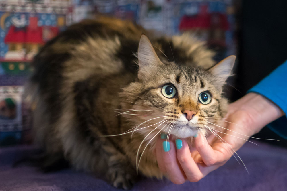 Long-haired tabby cat Munchkin getting scratched under the chin