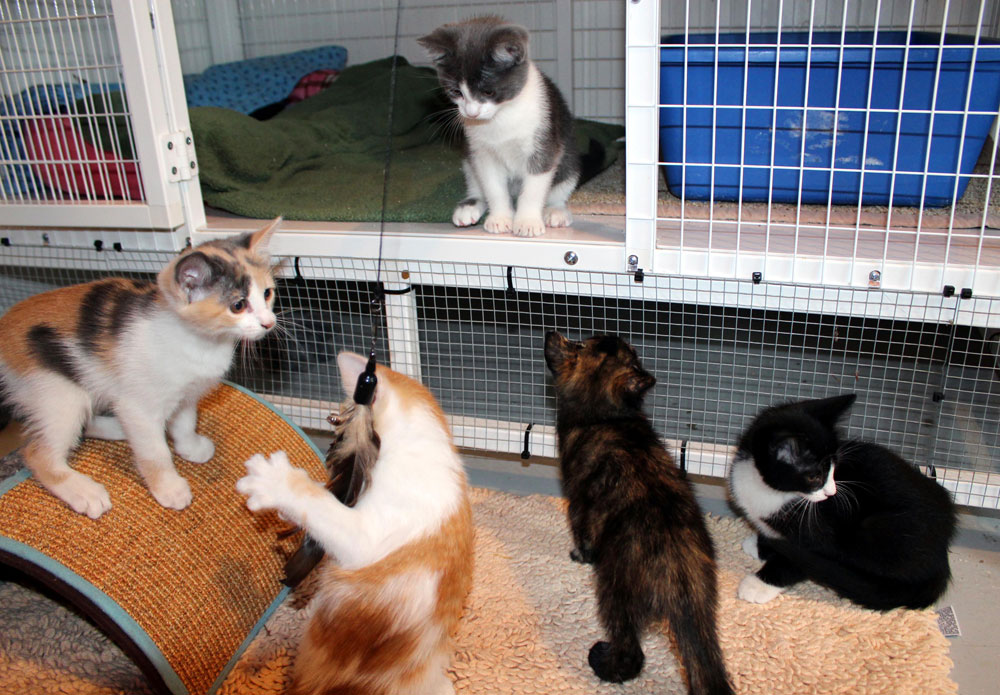 The A kittens playing: torties, bi-color, tuxedo, and calicoes